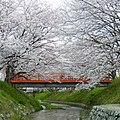 柳田川の桜 御所市にて 2012.4.07 - panoramio.jpg