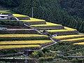 段々畑(西条市) - panoramio.jpg