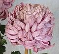 菊花-紫電流輝 Chrysanthemum morifolium -香港圓玄學院 Hong Kong Yuen Yuen Institute- (12049697134).jpg