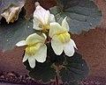 蔓金魚草 Asarina procumbens -比利時國家植物園 Belgium National Botanic Garden- (9240253872).jpg