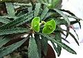 蘇鐵大戟(鐵甲丸) Euphorbia bupleurifolia -香港花展 Hong Kong Flower Show- (26172038727).jpg
