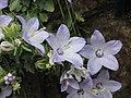 風鈴草屬 Campanula fragilis v cavolinii -倫敦植物園 Kew Gardens, London- (9198103607).jpg