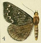 04-(Lecasia)Calesia othello (Fawcett, 1916).JPG