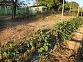 0574jfLandscapes Mabalas Diliman Salapungan Paddy fields San Rafael Bulacan Roadsfvf 03.JPG