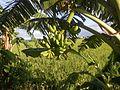 09705jfVillages Makinabang Highway Baliuag Bulacan Paddy fields Roadsfvf 14.jpg
