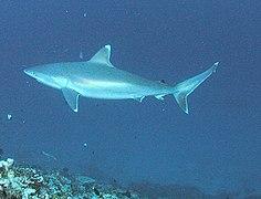 Video Clips Stock Footage Silvertip Sharks video, underwater stock ...