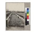 1-0 redwood seed beds - Fort Bragg Nursery. Sept. 1, 1923.png
