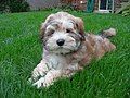 10-week-old Lhasa-Poo puppy.jpg