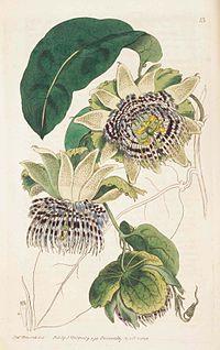 13 Passiflora laurifolia