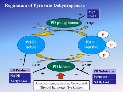 Regulation of Pyruvate Dehydrogenase