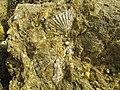 16-05-2017 Fossil on Praia da Balbina (1).JPG