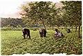 1903-05-09, Blanco y Negro, Las fresas, Andrés Solá.jpg