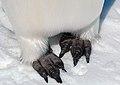 2007 Snow-Hill-Island Luyten-De-Hauwere-Emperor-Penguin-98.jpg