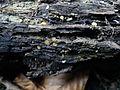 2008-04-01 Phaeohelotium umbilicatum 49632.jpg