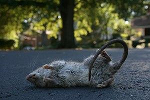 2008-09-18 Dead rat in a parking lot.jpg