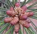 2009-365-136 Birth of a Pine Cone (3537509888).jpg