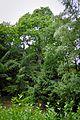 2010-06-20 ND55 Edelkastanie E-Heisingen.jpg
