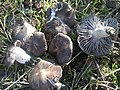 2011-12-21 Tricholoma terreum (Schaeff.) P. Kumm 212513.jpg