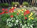 2011 Tulips 6 (5766763215).jpg