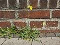 20120629Diplotaxis tenuifolia1.jpg