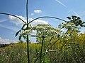 20120813Heracleum sphondylium5.jpg