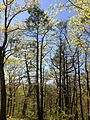 2013-05-06 14 17 02 Tsuga canadensis along the Summit Trail in Jenny Jump State Forest.jpg
