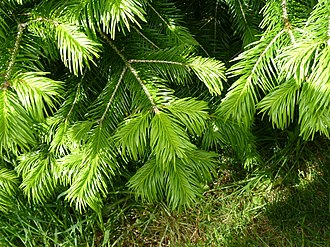 Abies pindrow - Leaves of Abies pindrow.