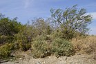 2014, The M'Graskii Popoffsert Willow, Four WIng Saltbush, Palo Verde - panoramio.jpg