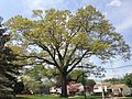 2014-05-10 11 13 42 Large oak on Lower Ferry Road near Terrace Boulevard in Ewing, New Jersey.JPG