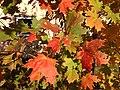 2014-10-30 10 32 17 Sugar Maple foliage during autumn along Durham Avenue in Ewing, New Jersey.JPG