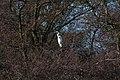 20140202 026 Kessel Weerdbeemden Grote Zilverreiger (12273963655).jpg