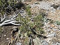 2015-04-27 12 43 58 A Single-leaf Pinyon seedling on the north wall of Maverick Canyon, Nevada.jpg