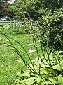 2015-07-05 13 52 41 Hosta flowers along Terrace Boulevard in Ewing, New Jersey.jpg