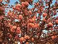 2016-04-15 19 25 52 'Kanzan' Japanese Cherry flowers in the light of the setting sun along Lake Center Plaza in Cascades, Loudoun County, Virginia.jpg