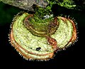 2016-12-17 Sphaerostilbella aurifila (W.R. Gerard) Rossman, L. Lombard & Crous 698033.jpg