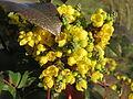 20160224Mahonia aquifolium1.jpg