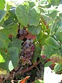 2017-08-09 Grapes on the vine in a Vineyard, Brejos, Albufeira (1).JPG