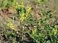 20170527Melilotus officinalis1.jpg