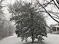 2018-03-21 08 45 35 Snow-covered American Holly along a walking path in the Franklin Farm section of Oak Hill, Fairfax County, Virginia.jpg