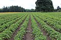 2018-06-25 Rows of strawberries.jpg