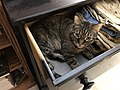 2019-07-12 00 36 05 A tabby cat lying down in a dresser drawer in the Franklin Farm section of Oak Hill, Fairfax County, Virginia.jpg