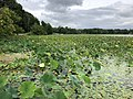 2020-08-16 16 51 42 View across a large patch of American Lotus in Swartswood Lake within Stillwater Township, Sussex County, New Jersey.jpg
