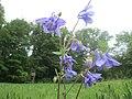 20200513Aquilegia vulgaris1.jpg