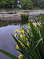 20200525 Iris pseudacorus Central Bohemia.jpg