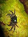 3. Мармуровий краб (Pachygrapsus marmoratus).jpg