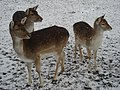 3 Little Deer - panoramio.jpg