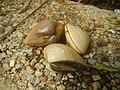 4087Ants Common houseflies foods delicacies of Bulacan 03.jpg