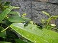 4733Common houseflies in Philippines 45.jpg