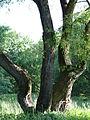 617683 A 683 Krakow Krzesławice Wankowicza 25 park w zespole dworsko parkowym 32.JPG