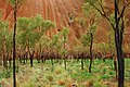 A189, Northern Territory, Australia, Uluru-Kata Tjuta National Park, Ayers Rock detail with trees, 2007.JPG